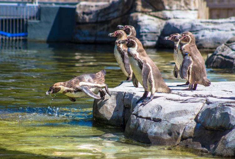 Pingüinos de Humboldt en el Zoológico de Chester