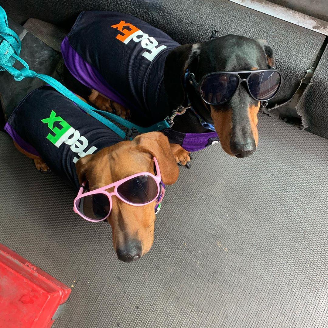 Dachsund Dog Coworkersv