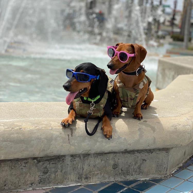 Dachsund Dog Coworkers