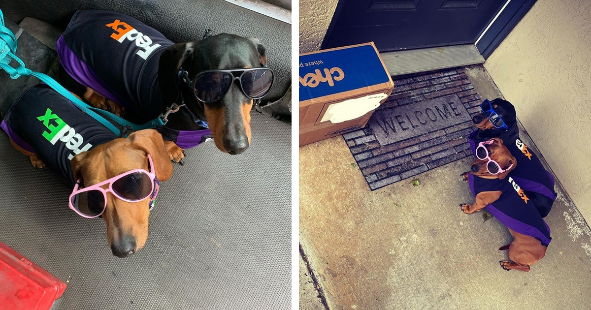 FedEx Driver Takes His Dachshunds on Deliveries With Him After Their Doggy Daycare Closes