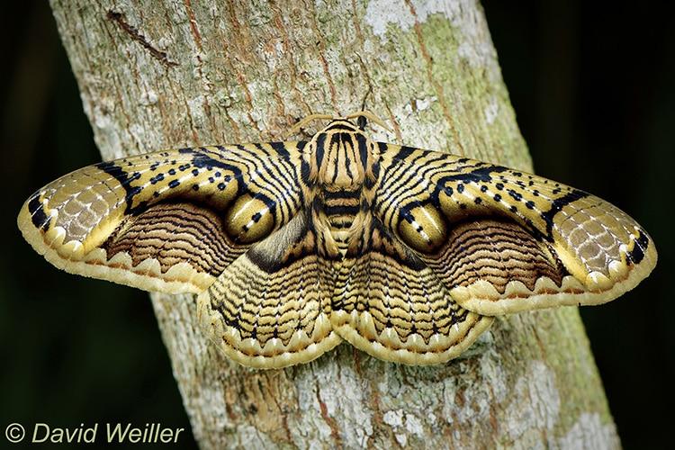 David Weiller Capture Tigers Eye Pattern on Brahmain Moth's Wings