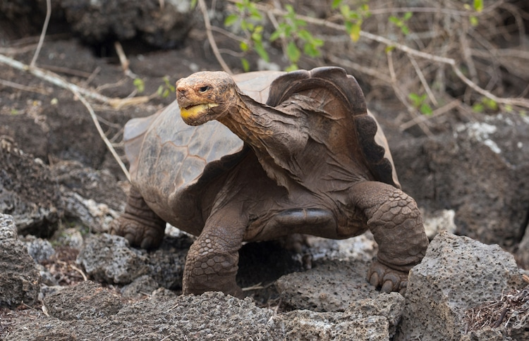 Diego the Galapagos Turtle