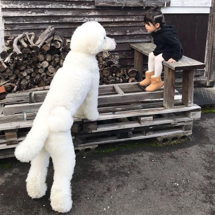 Caniches gigantes y niños
