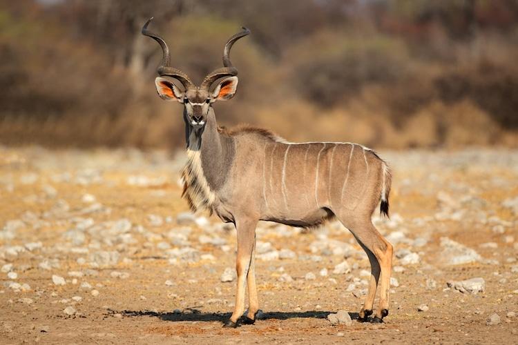 Greater Kudu Antelope in Africa