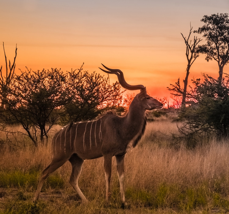 Male Greater Kudu Standing in the Sunset