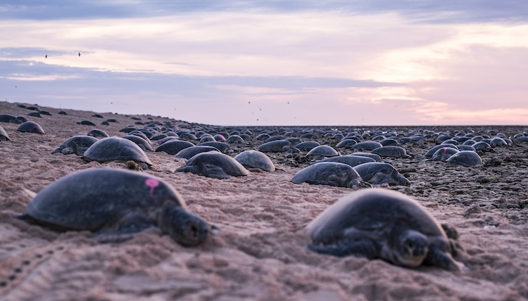 Green Sea Turtles Nesting on Raine Island