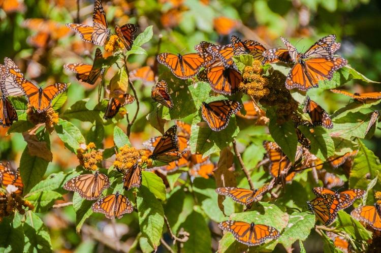mariposa monarca santuario