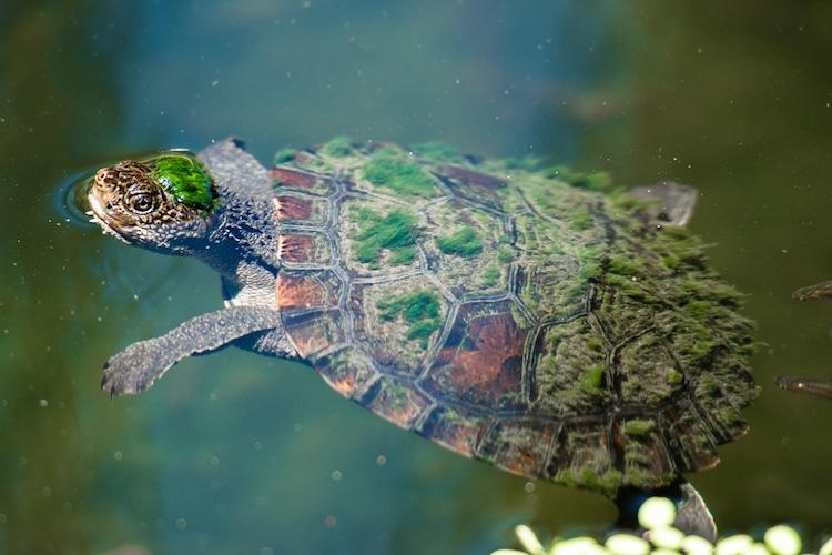 tortuga del rio mary