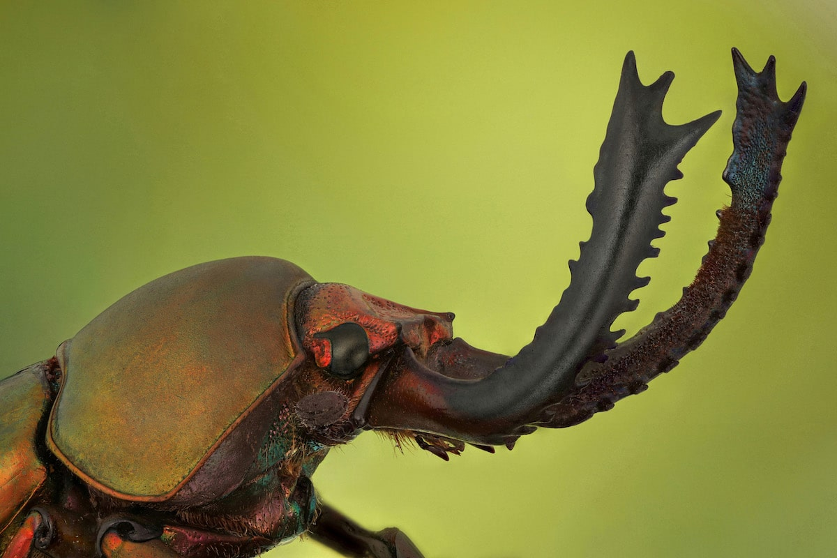 Green stag beetle