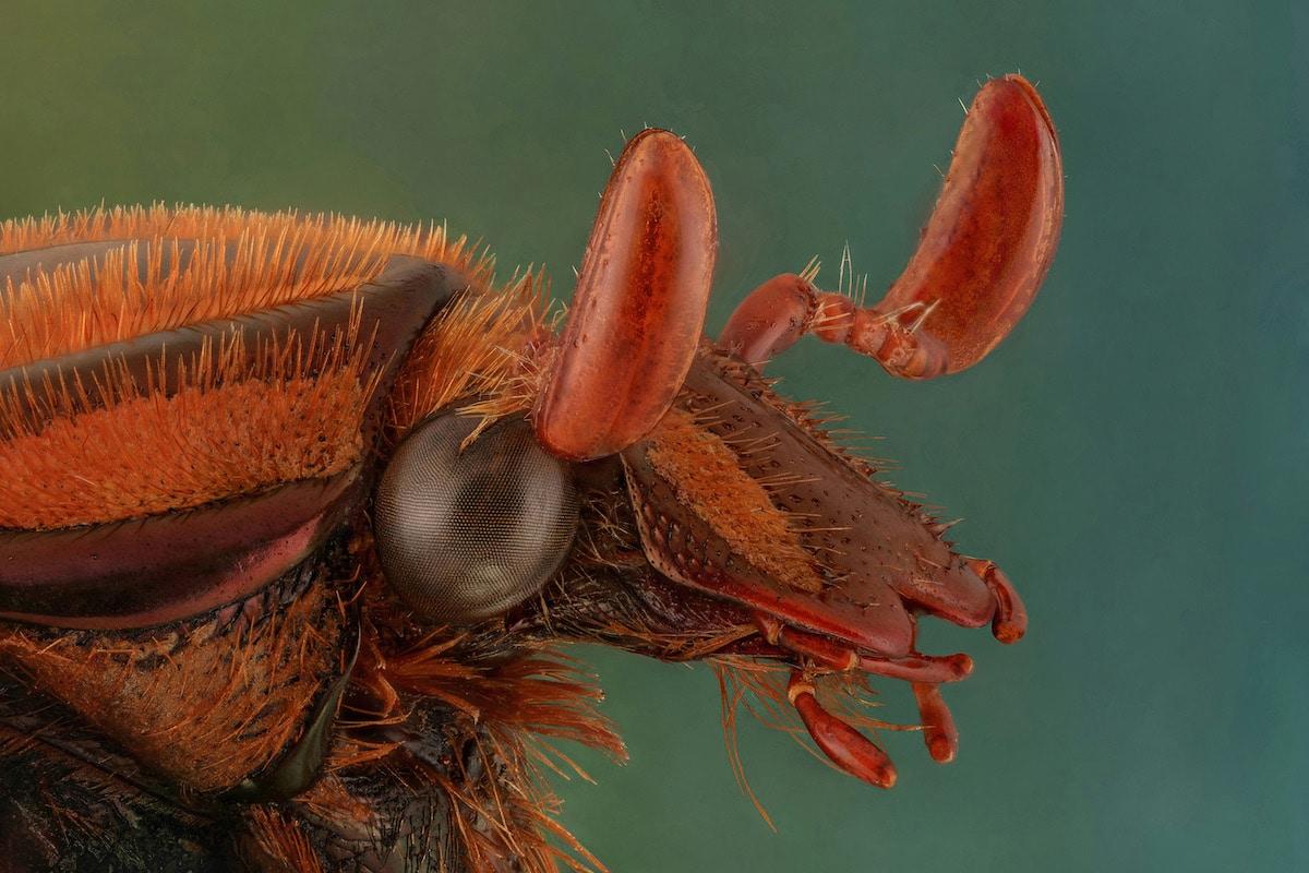 Copper flower beetle