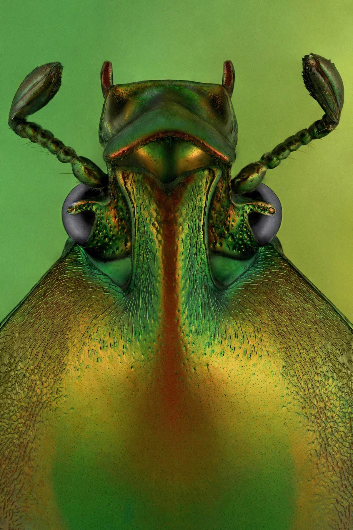 Phaedimus zebuanus