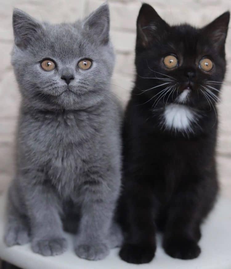 gatitos gris y negro