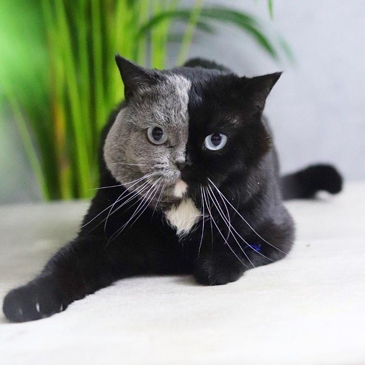 gato con cara mitad y mitad