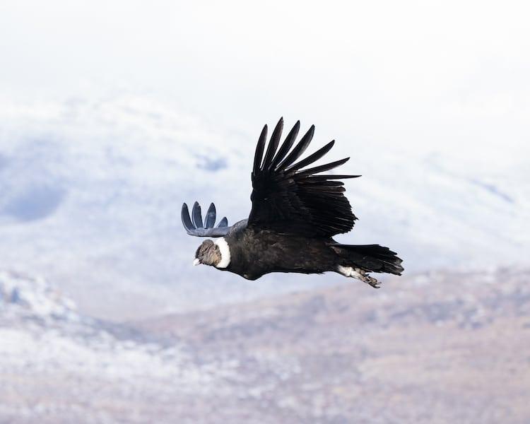 Cóndor andino volando