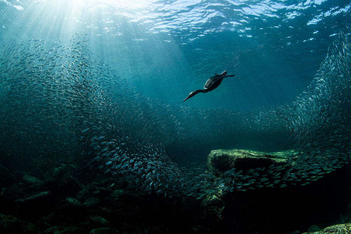 Double Crested Cormorant Diving Underwater