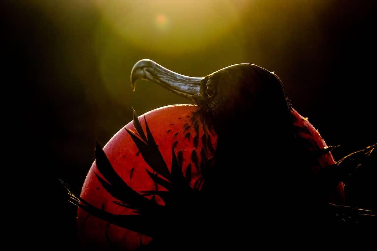 Magnificent Frigatebirg