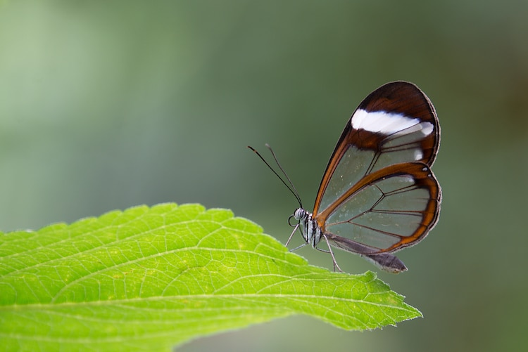 Glasswing Butterfly With Transparent Wings On A Leaf
