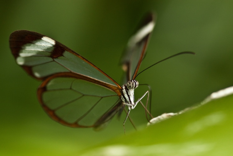Glasswing Butterfly With Transparent Wings Spread Open