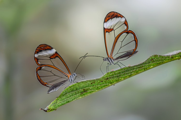 Two Glasswing Butterflies On A Leaf