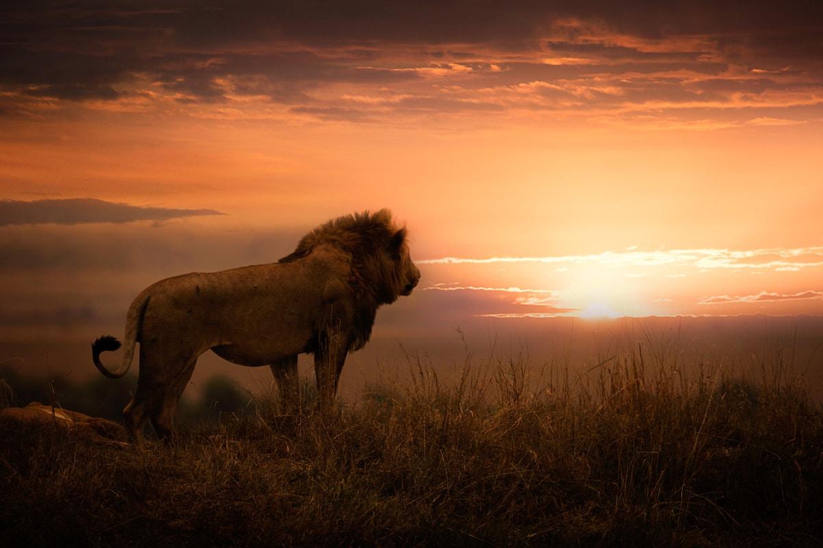 León viendo un atardecer en África