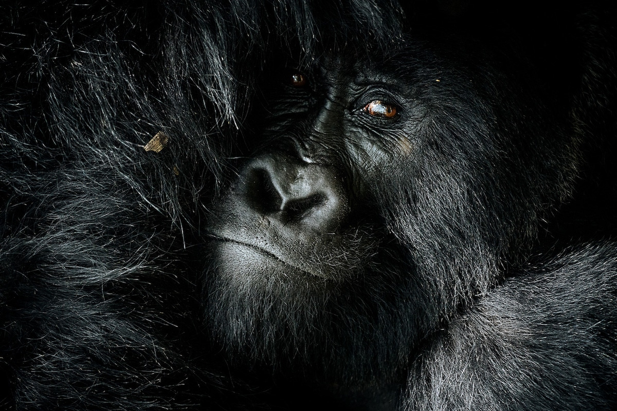 Silverback Mountain Gorilla in Uganda