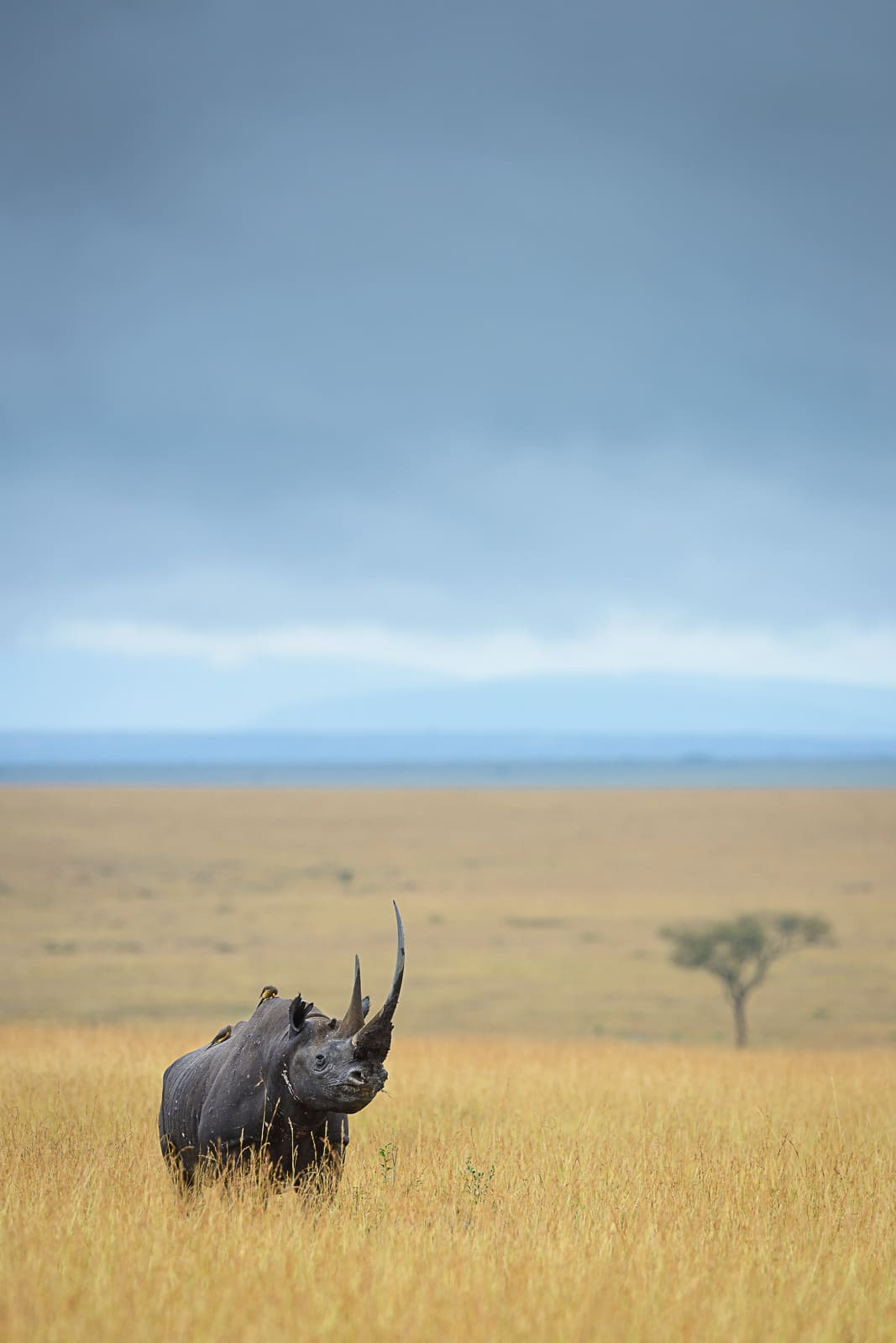 Rhino in Africa by David Lloyd