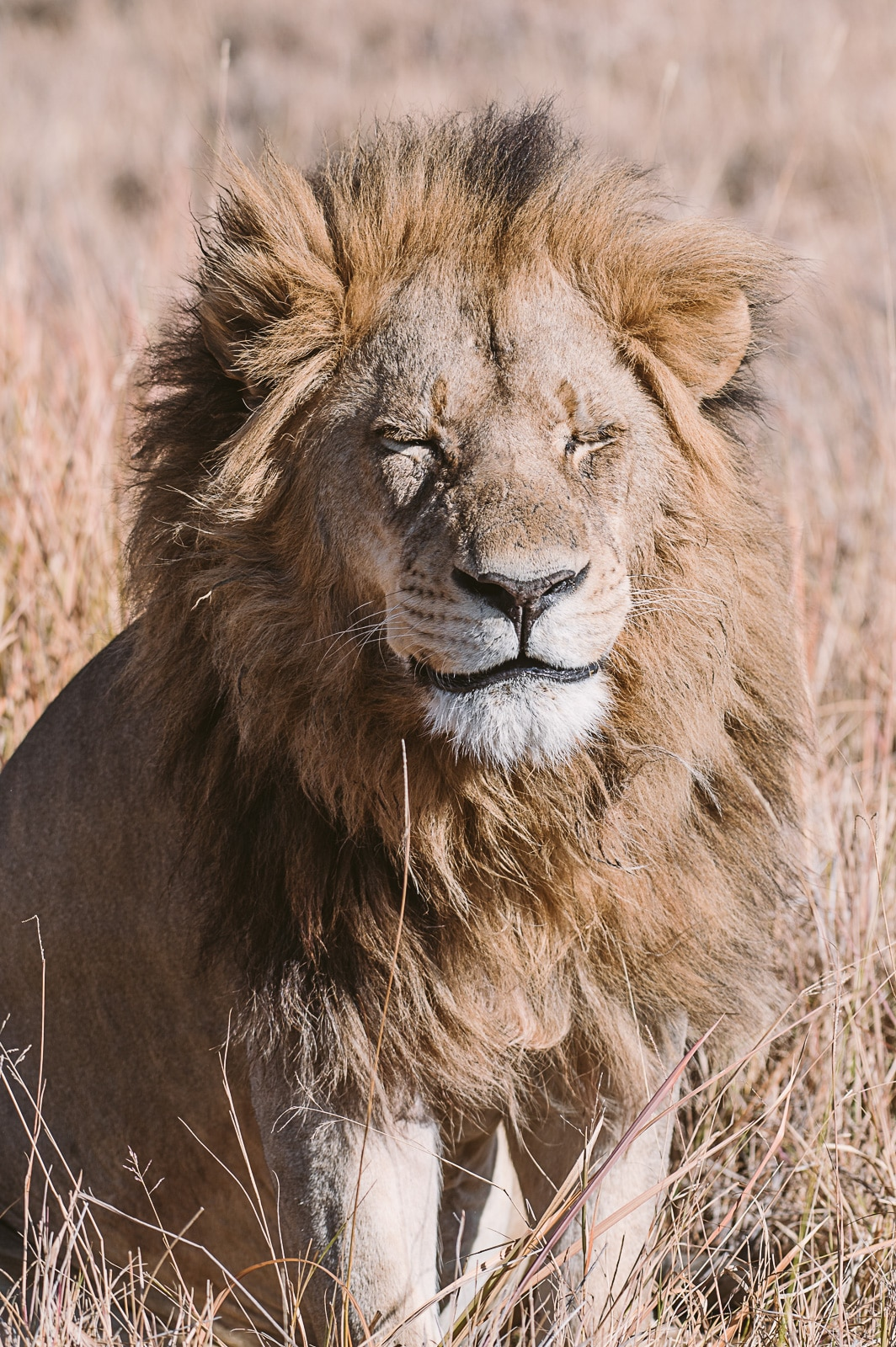 Lion in Africa by Marion Payr