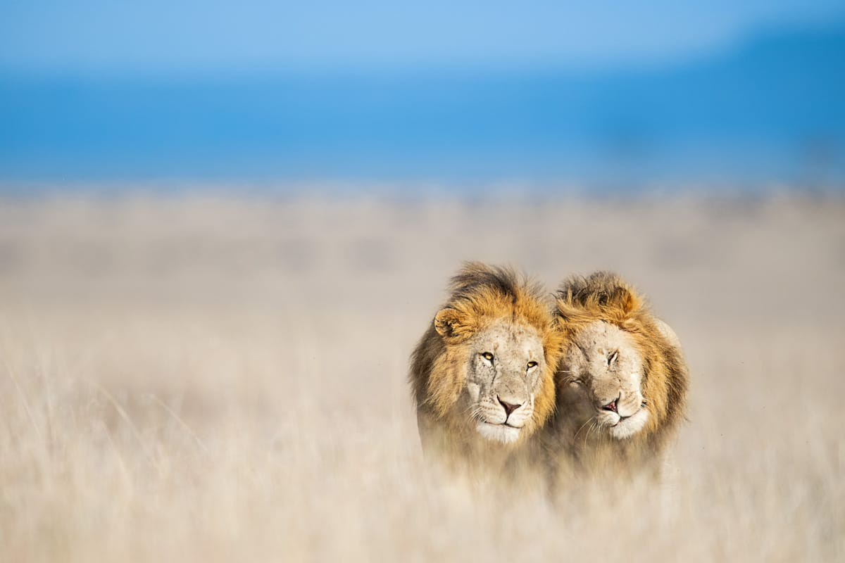 Lions in Africa by Thomas Vijajan