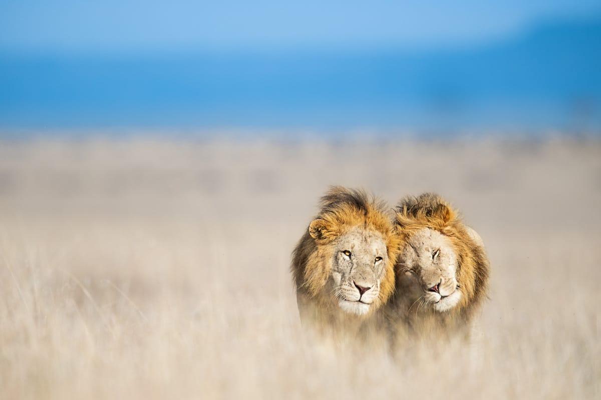 Leones en África por Thomas Vijajan