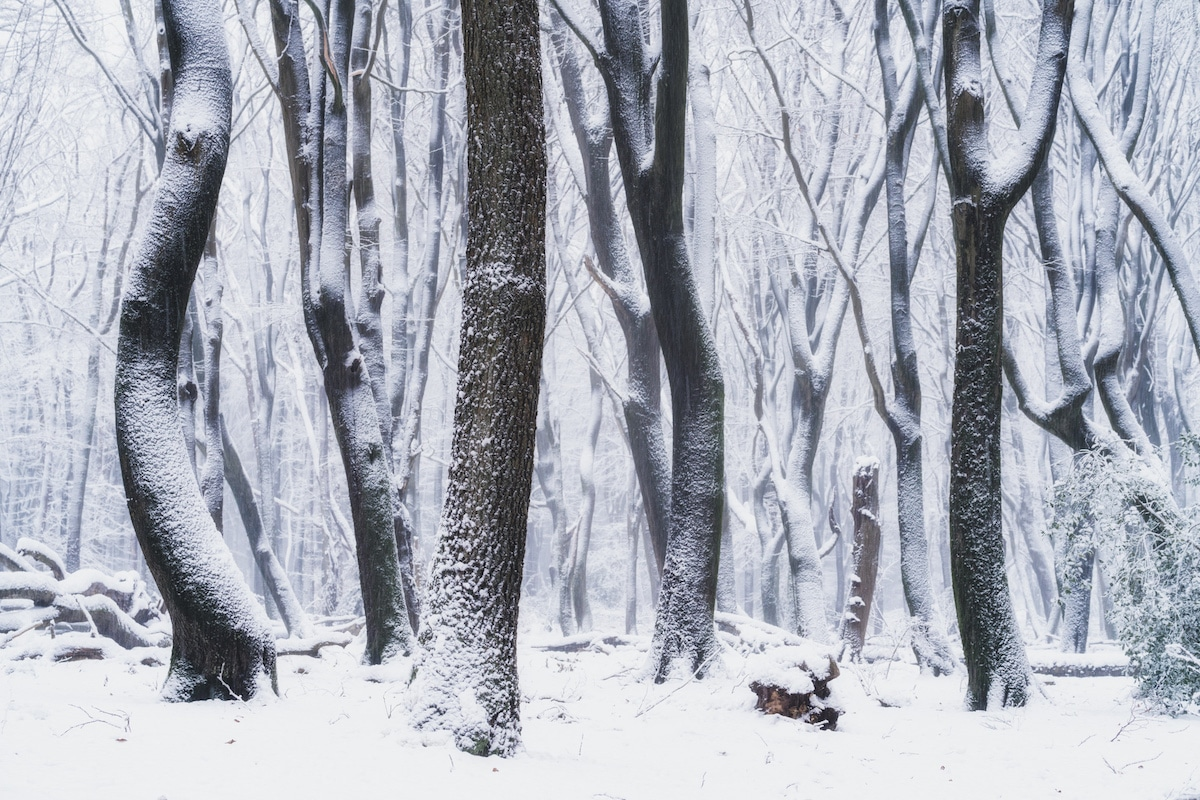 Snow Covered Trees in the Woods