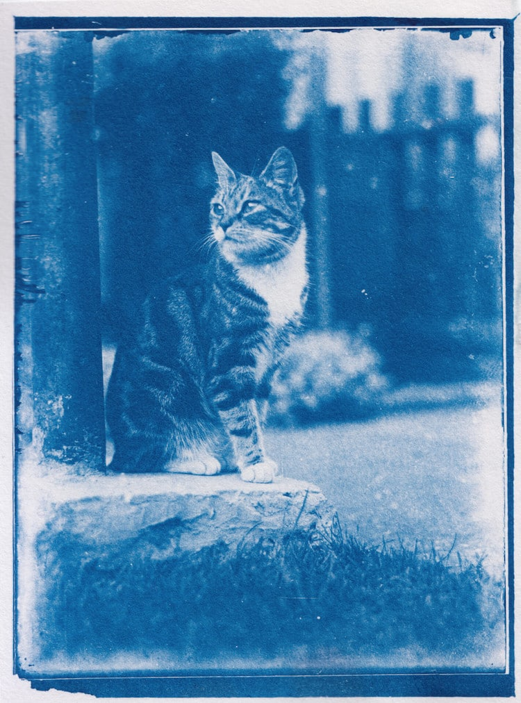 Cyanotype Cat Photo