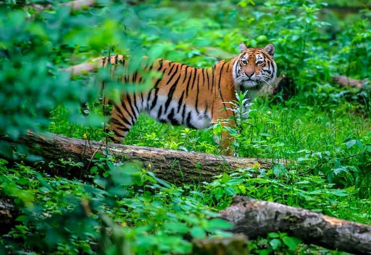 Indian Tiger in the Forest