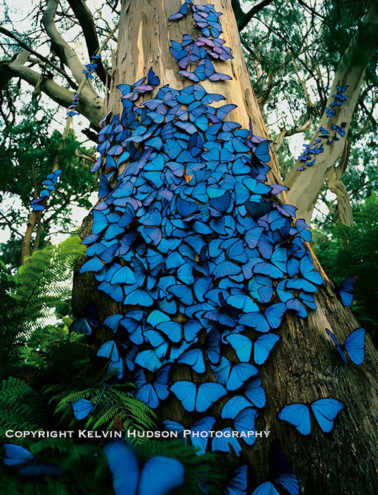 Blue Morpho Butterfly Picture by Kelvin Hudson
