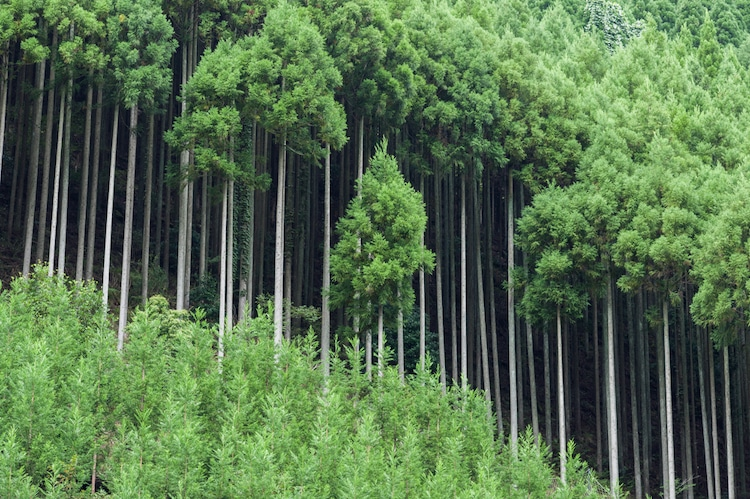 Kitayama Cedar Forest in Japan