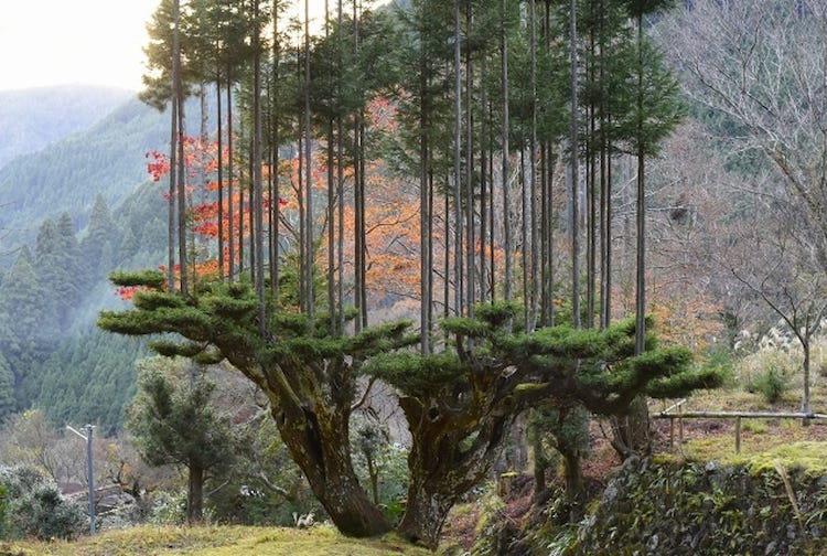 Daisugi in Japan for Growing Cedar