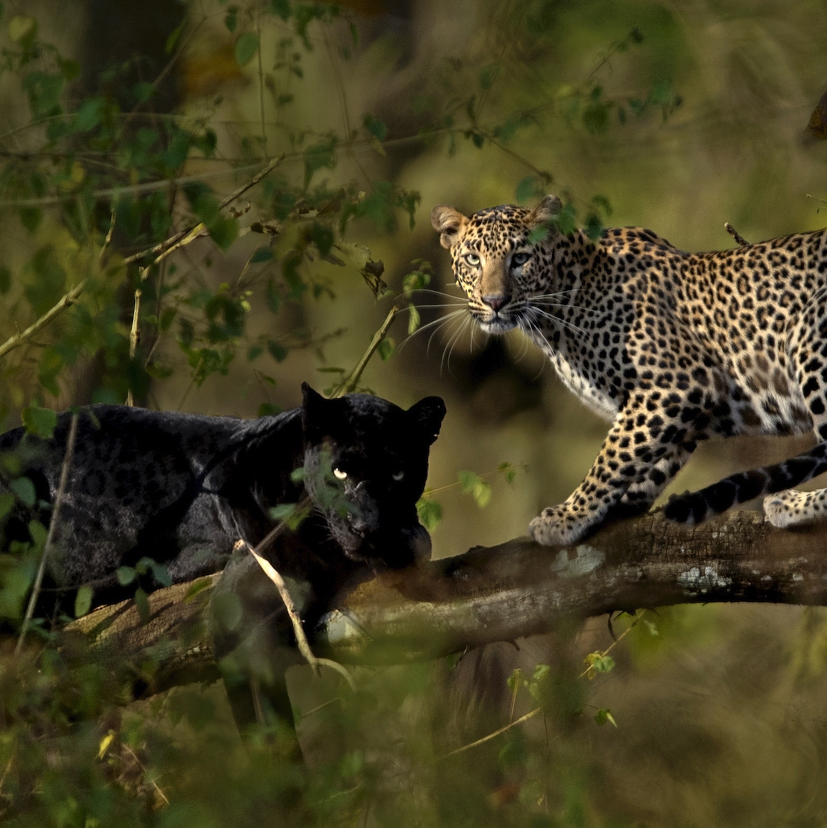 Saaya and Cleopatra at the Kabini Forest Reserve in Karnataka, India