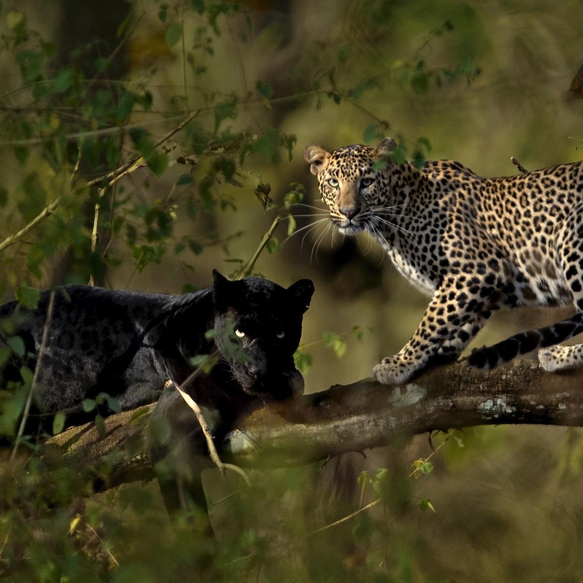 leopardo y pantera en Karnataka, India