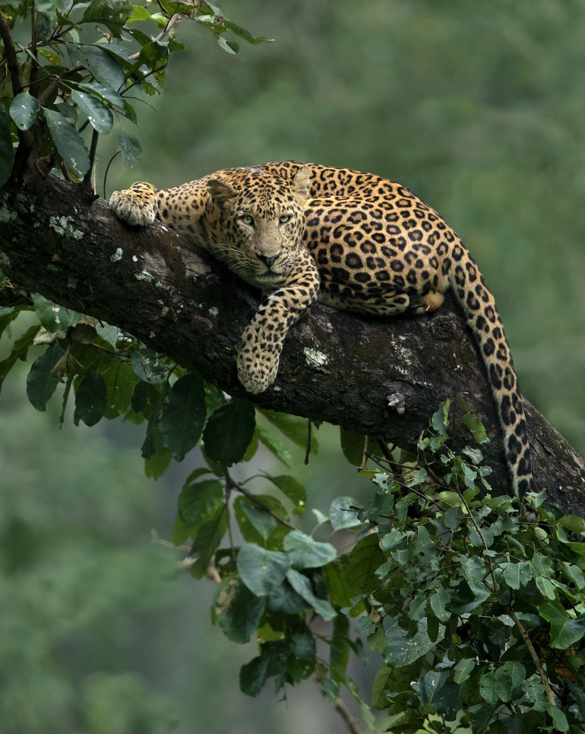 Leopard in a Tree in India