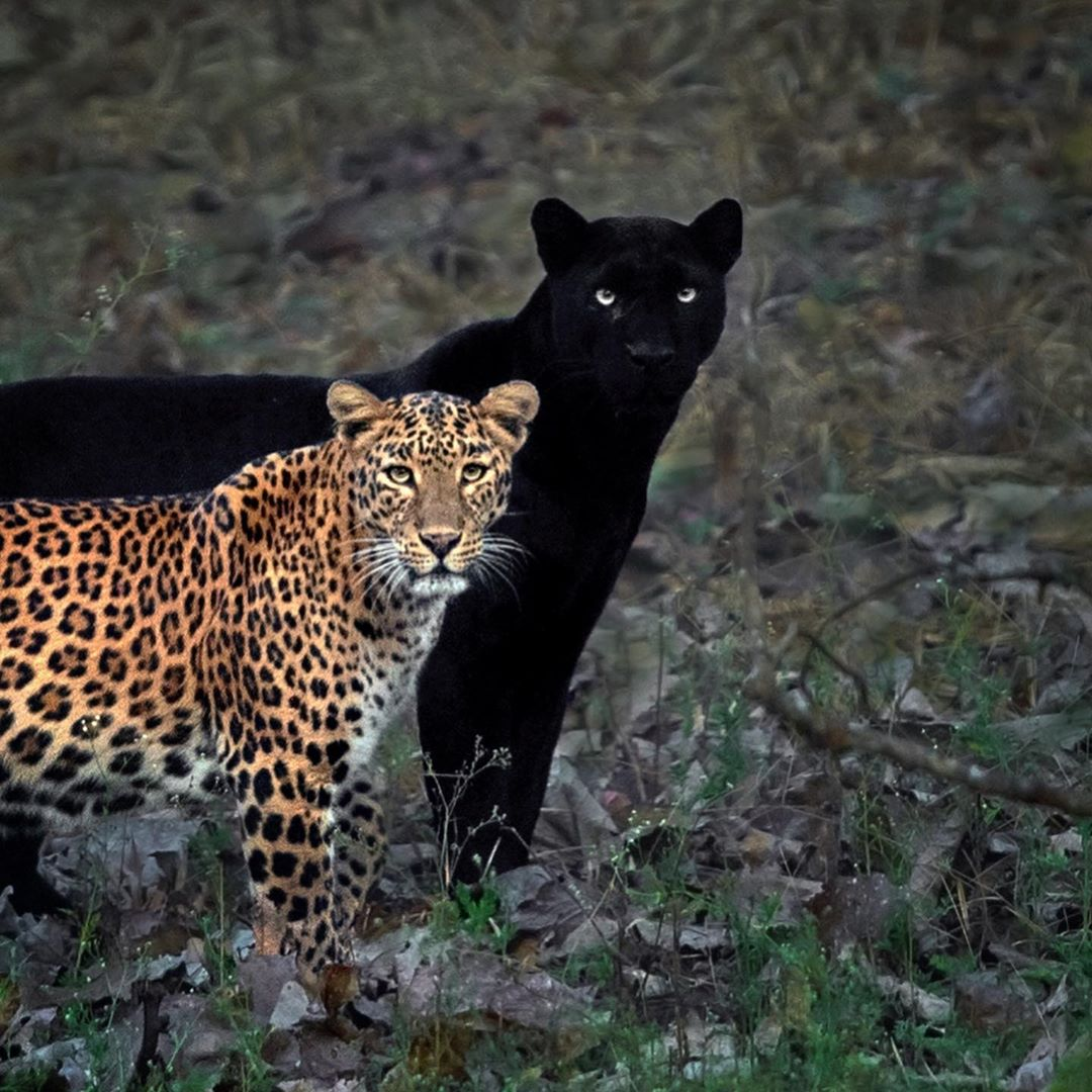 Leopard and Panther Couple at the Kabini Forest Reserve in Karnataka, India