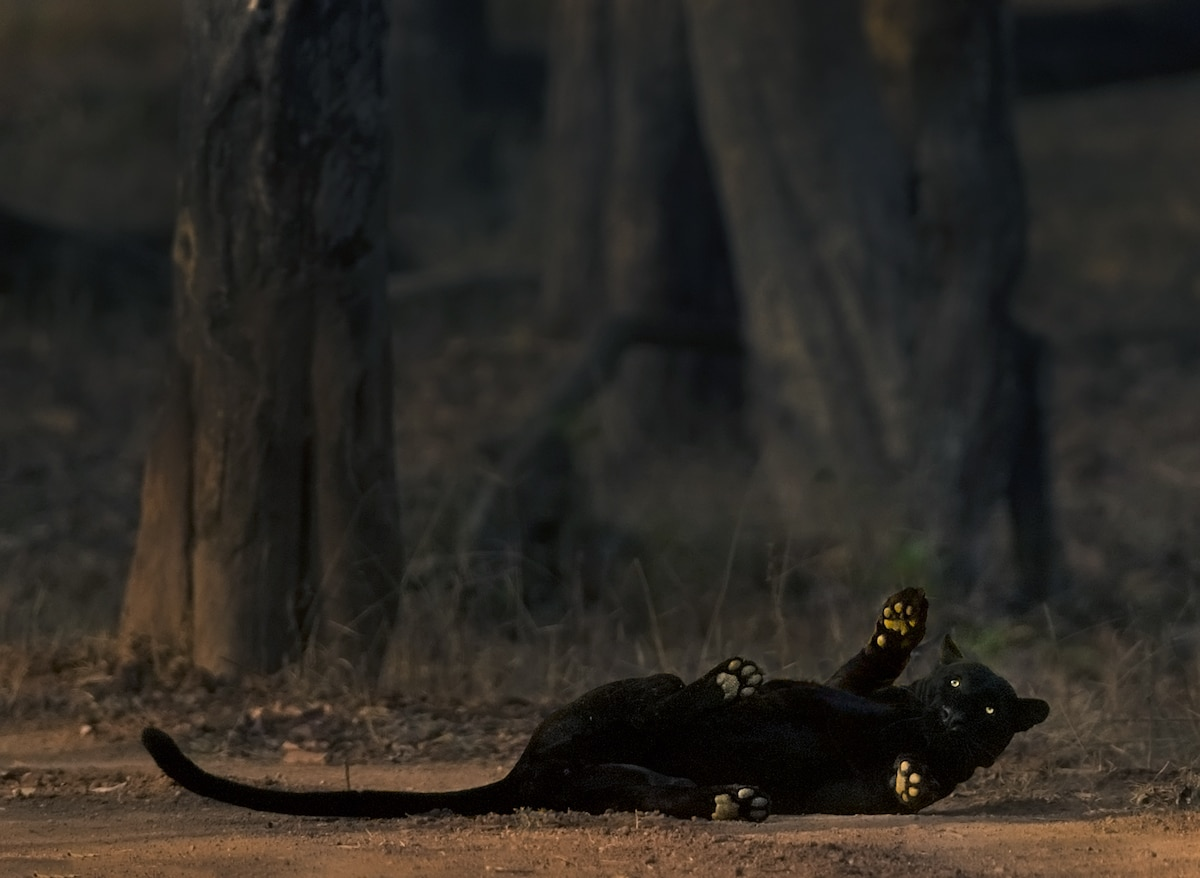 Black Panther Rolling on the Ground