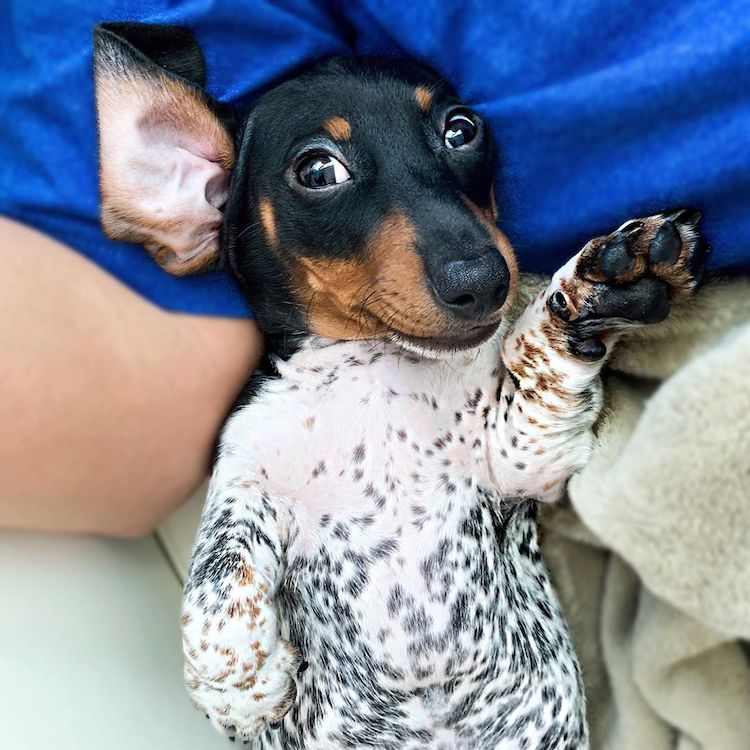 Cute Dachshund Pictures