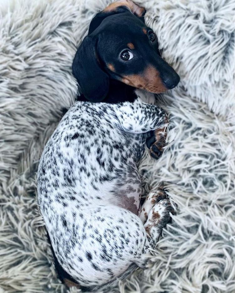 Moo the Daschund Puppy
