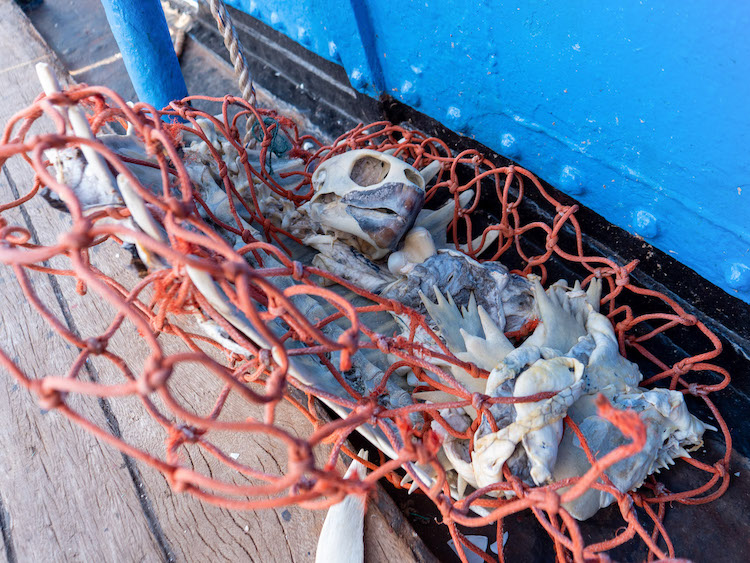 Turtle Skeletons Tangled in Fishing Nets