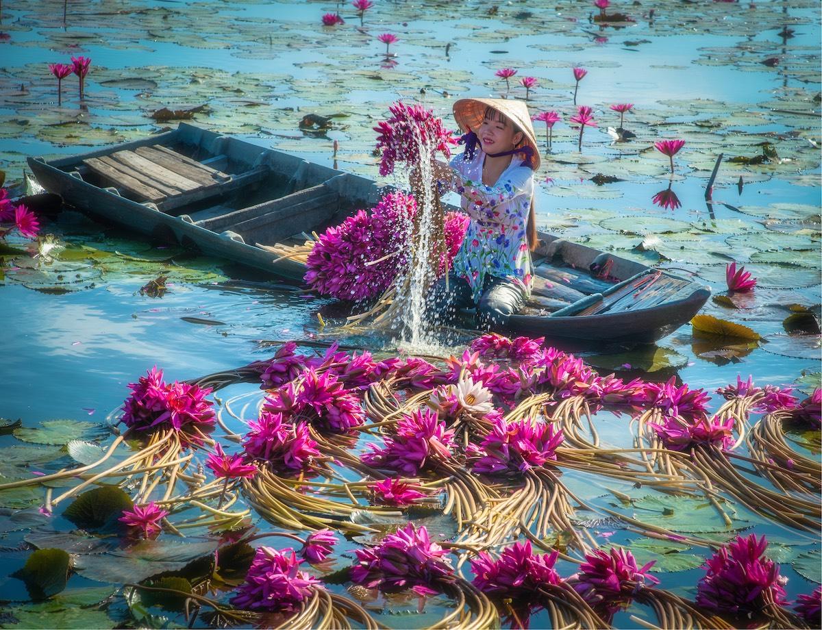 cosecha de nenufares en Vietnam