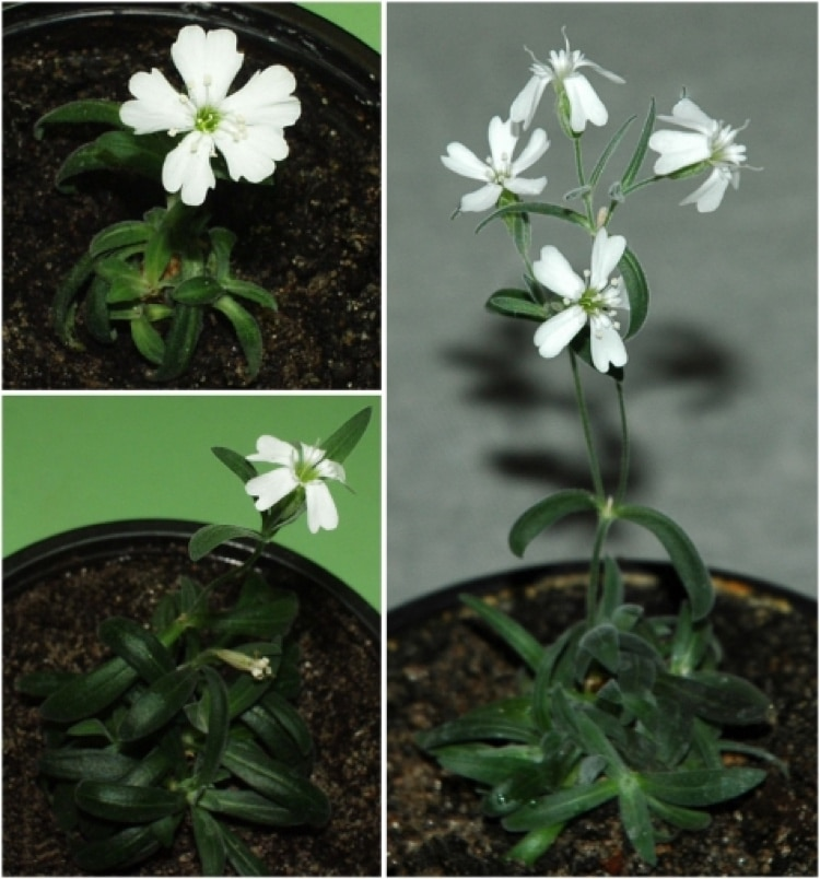 Silene stenophylla Grown from Ancient Seeds