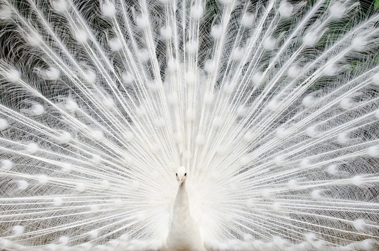White Peacock Displaying Its Tail Feathers