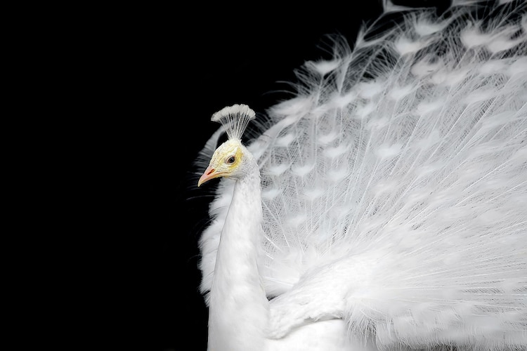 Close Up Portrait of a White Peacock