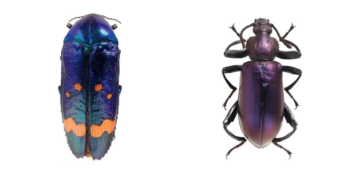 Brazilian Jewel Beetle and Darkling Beetle