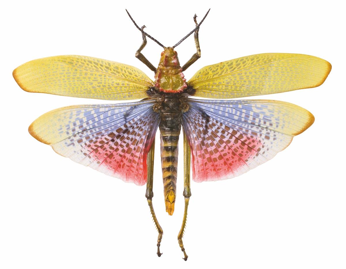 Green milkweed grasshopper