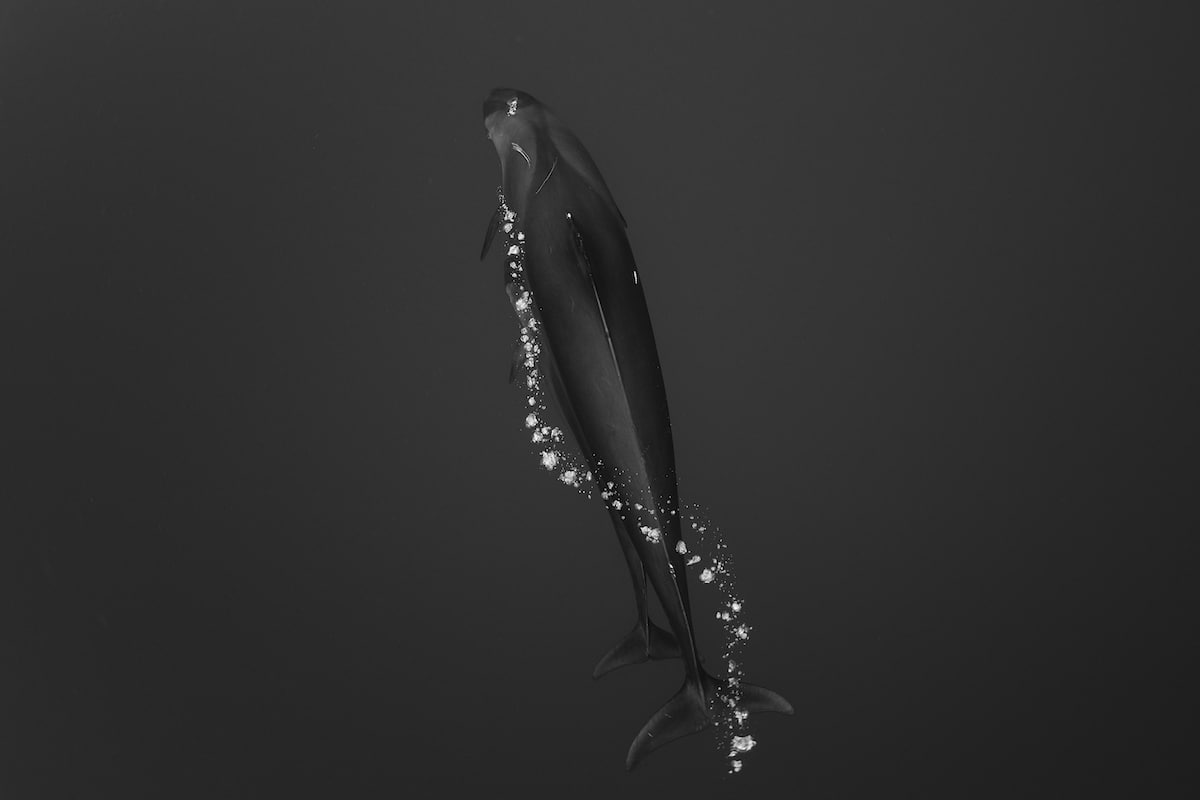 Underwater Whale Photograph